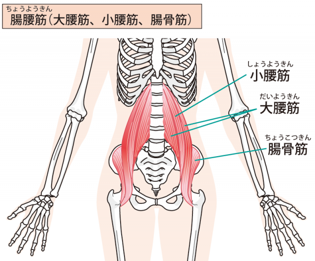 大腰筋のイラスト